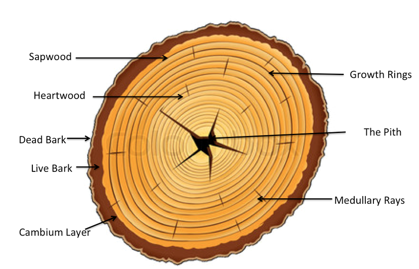 crown tree trunk diagram diagram of tree trunk cross section of a tree - tree growth and structure
